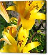 Yellow Trumpets Acrylic Print