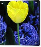 Yellow Tulip And Hyacinth Acrylic Print