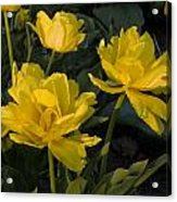 Yellow Tulips  Tulipes Jaune Acrylic Print