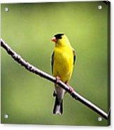 Yellow Tux Acrylic Print