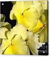 Yellow Violas Acrylic Print