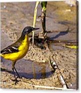 Yellow Wagtail Acrylic Print