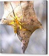 Yellow Wasp Acrylic Print
