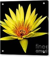 Yellow Water Lily Acrylic Print by Nick Zelinsky