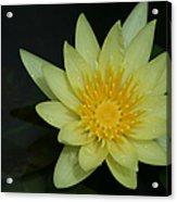 Yellow Waterlily - Nymphaea Mexicana - Hawaii Acrylic Print