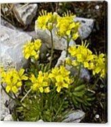 Yellow Whitlow-grass (draba Aizoides) Acrylic Print