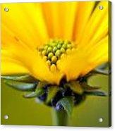 Yellow Wild Flower - Side Acrylic Print