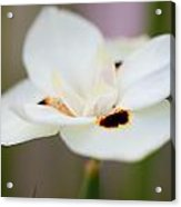 Yellow Wild Iris Acrylic Print