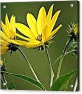 Yellow Wildflower 2 Acrylic Print