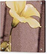 Yellow Wood Sorrel Acrylic Print