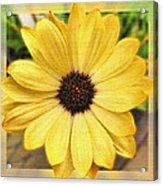 Yellow Wow Acrylic Print