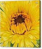 Yellow Zinnia 9494 4286 Acrylic Print