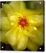 Yellowrose Acrylic Print