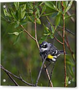 Yellowrumped Warbler Acrylic Print