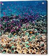 Yellowstriped Anthias And Blue Damselfish Acrylic Print