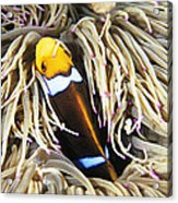 Yellowtail Anemonefish In Its Anemone Acrylic Print
