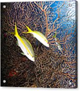 Yellowtail Snappers And Sea Fan, Belize Acrylic Print