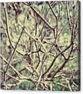 Yet To Spring Acrylic Print