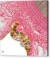 Yew Stem Acrylic Print