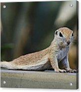 Yoga Ground Squirrel Style Acrylic Print