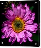 Yoho - Subalpine Fleabane Wildflower  Acrylic Print