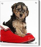 Yorkipoo Pup Acrylic Print