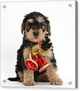 Yorkipoo Pup Wearing Christmas Bells Acrylic Print