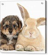 Yorkipoo Pup With Sandy Rabbit Acrylic Print