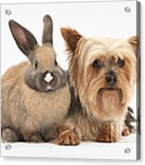 Yorkshire Terrier And Young Rabbit Acrylic Print