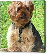 Yorkshire Terrier In Park Acrylic Print