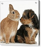 Yorkshire Terrier Pup With Rabbit Acrylic Print