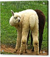 You Can't Sneak Up On Alpacas Acrylic Print