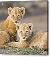 Young African Lion Cubs  Acrylic Print