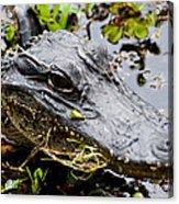 Young Alligator Acrylic Print