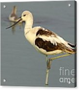 Young American Avocet Acrylic Print