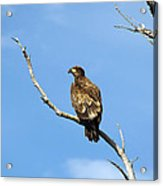 Young Bald Eagle Acrylic Print