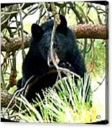 Young Black Bear Acrylic Print
