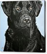 Young Black Labrador Acrylic Print