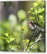 Young Blue Grosbeak Acrylic Print