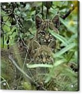 Young Bobcats Acrylic Print by Michael S. Quinton