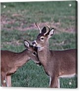 Young Bucks Acrylic Print