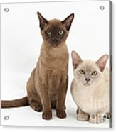 Young Burmese Cats Acrylic Print