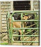 Young Calf In Fence Pen Near Barn Summer Maine Acrylic Print