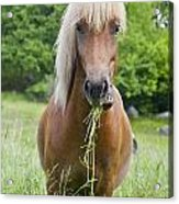 Young Chestnut Icelandic Horse Acrylic Print