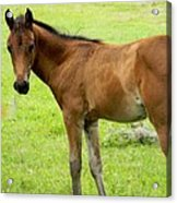 Young Colt Acrylic Print