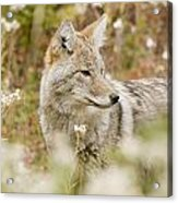 Young Coyote Canis Latrans In A Forest Acrylic Print