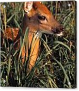 Young Deer Laying In Grass Acrylic Print