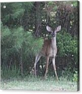 Young Deer Peering Out Of The Woods Acrylic Print