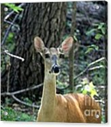 Young Doe At Side Of The Road Acrylic Print