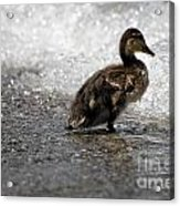 Young Duck On The Beach Acrylic Print